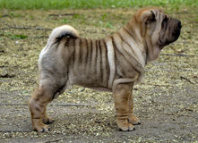 Sharpei puppy dog stands. 10 weeks old sharpei puppy stands in autumn coloured leaves Stock Image