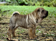 Sharpei puppy dog stands. 10 weeks old sharpei puppy stands in autumn coloured leaves Stock Photo