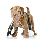 Sharpei puppy dog with a stethoscope on his neck. Stock Image