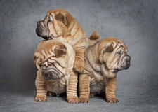 Sharpei puppy dogs Royalty Free Stock Photo