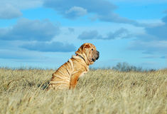 Sharpei puppy on the field. Sitting Sharpei puppy dog  on the field Royalty Free Stock Photography