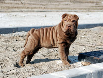 Sharpei puppy with funny face. Chocolate sharpei puppy with funny face Stock Photography