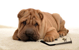 Sharpei puppy with glasses. 10 weeks old sharpei puppy laying with glassesl isolated Royalty Free Stock Image