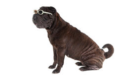 Sharpei puppy with glasses sitting isolated Royalty Free Stock Photos