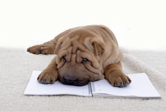 Sharpei puppy laying on an exercise book. 10 weeks old sharpei puppy laying on an opened exercise book Stock Image