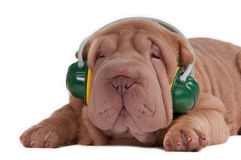 Sharpei puppy listening to music with headphones Royalty Free Stock Photos