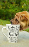 Sharpei puppy loves coffee. Sharpei puppy dog loves drinking coffee from a cup Royalty Free Stock Images