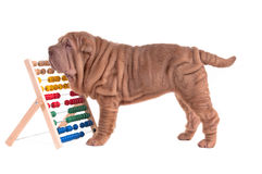 Sharpei puppy playing with abacus. Sharpei puppy counting with abacus isolated on white background Royalty Free Stock Photo