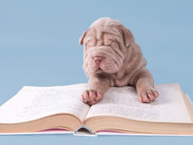 Sharpei puppy reading a book Stock Photos