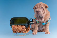 Sharpei puppy is sitting near a wine bottle Royalty Free Stock Images