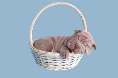 Sharpei puppy sleeping in a basket. Sharpei puppy sleeping sweatly in a handmade basket Stock Image
