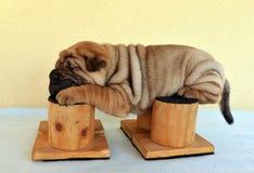 Sharpei puppy slepping on happy legs. Sharpei puppy sleeping on happy legs after the show training Stock Image