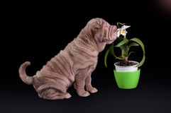 Sharpei puppy sniffing white flower Stock Image