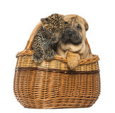 Sharpei puppy and spotted Leopard cub in a wicker basket Stock Photos