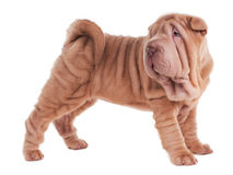 Sharpei puppy standing Stock Images