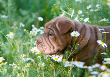 Sharpei puppy standing in the grass. Stock Photo