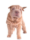 Sharpei puppy standing looking at camera Royalty Free Stock Photography
