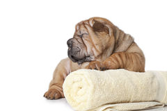 Sharpei Puppy with a towel Stock Images