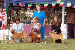 Sharpei puppy winners. Sharpei dog winning  Best Puppy 1, and Reserved Best Puppy title at Italian Speaciality dogshow Stock Images