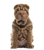 Sharpei sitting Royalty Free Stock Photography