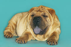 Sharpei Sitting With Tongue Out Royalty Free Stock Photo