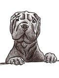 Sharpei sketch. Cute shar pei dog sketch Royalty Free Stock Photography