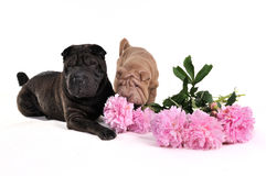 Sharpei Sniffing Flowers Stock Image