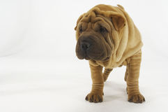 Sharpei Standing Against White Background Stock Photos