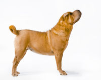 Sharpei Stock Royalty Free Stock Image