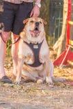 Sharpei vuxen människahund arkivfoton