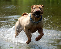 Sharpei in the water. Fawn sharpei jumping in the water with a bough Royalty Free Stock Image