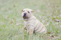 Sharpei Welpe stockbild
