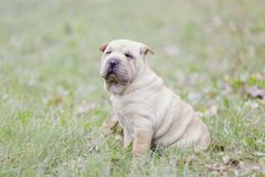 Sharpei Welpe stockfotos