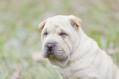 Sharpei Welpe lizenzfreie stockfotos