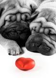 Sharpei Welpen in der Liebe Stockfoto