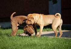 Sharpeis playing. 2 young Sharpei dog are playing in the garden Stock Images