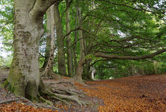 Sharpenhoe trees. Typical image of Sharpenhoe clappers taken in Sharpenhoe October 2012 Royalty Free Stock Image