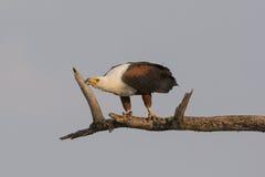 Sharpening my beak. An African Fish Eagle Sharpening beak on branch in Botswana South Africa on Choebe River Royalty Free Stock Image