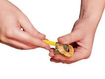 Sharpening o lápis Fotografia de Stock