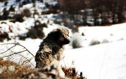 Sharplaninec - Macedonische Schapenhond royalty-vrije stock foto