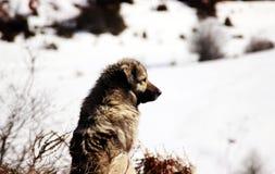 Sharplaninec - Macedonische Schapenhond royalty-vrije stock foto's