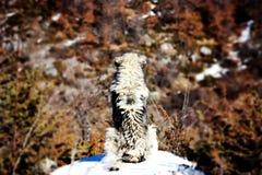 Sharplaninec - Macedonische Schapenhond stock fotografie