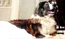 Sharplaninec - Macedonische Schapenhond royalty-vrije stock afbeelding
