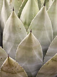 A Sharply Thorned Century Plant, or Agave Royalty Free Stock Images