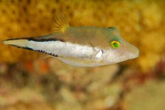 Sharpnose Puffer royalty free stock photography
