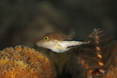 Sharpnose Puffer - Bonaire Stock Photo