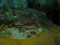 Sharpnose Puffer 02 Royalty Free Stock Image