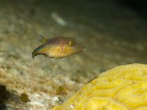 Sharpnose Puffer 04 Stock Photos