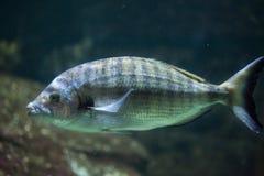 Sharpsnout seabream Diplodus puntazzo. Marine fish stock image