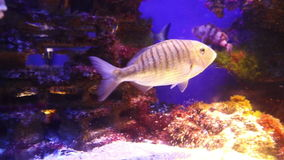 Sharpsnout-Seebrassenfische Unterwasser stock video footage